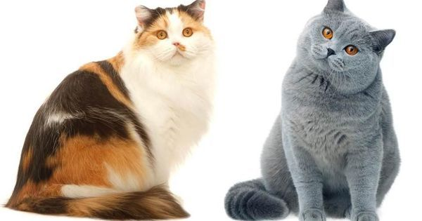 Things you need to know to raise British shorthair kittens