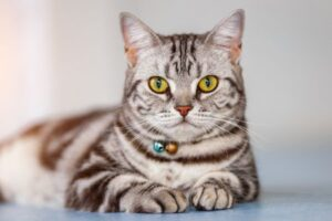 History of the American Shorthair